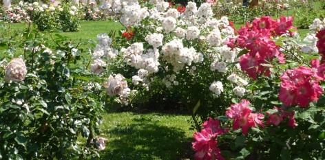 Image Atelier de taille des rosiers avec le service des espaces verts