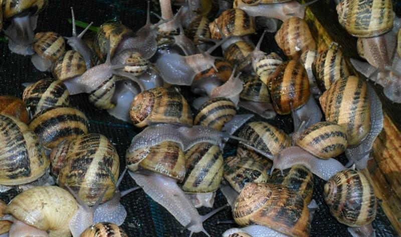 Image L'escargot de la ferme du Lomont