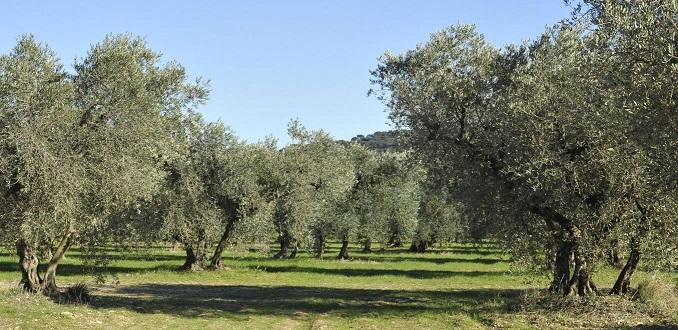 Image Au coeur d'une oliveraie