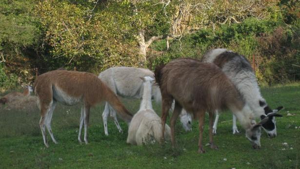 Image Les lamas du Barroux