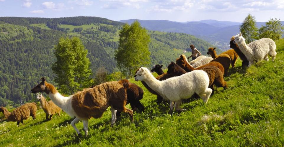Image La Montagne des Lamas et Alpagas